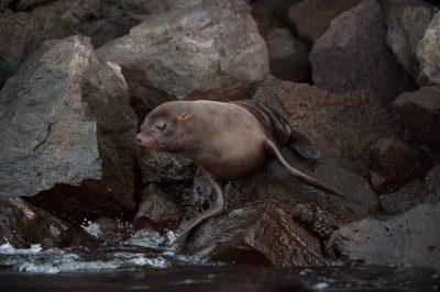 Photo: A Galapagos fur seal (Arctocephalus galapagoensis) on Tower Island in Galapagos National Park.