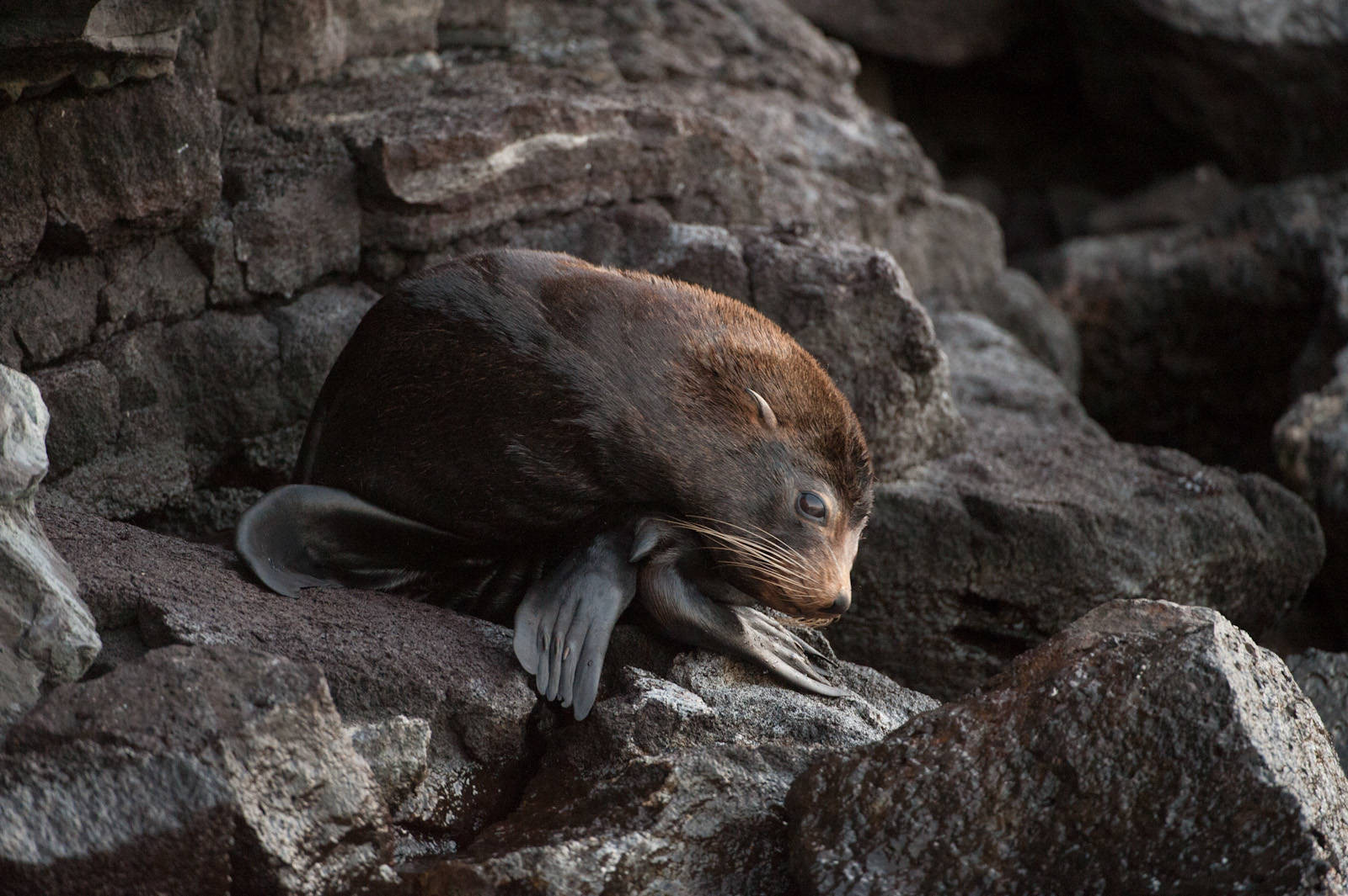 Photo: A Galapagos fur seal (Arctocephalus galapagoensis) on Tower Island in Galapagos National Park.