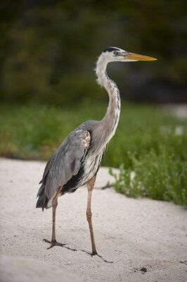 Picture of a great blue heron (Ardea herodias) in Galapagos National Park.