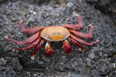 Photo: Sally lightfoot crabs (Grapsus grapsus) in Galapagos National Park.