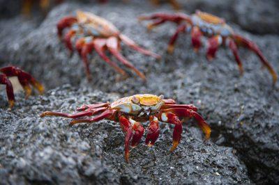 Photo: Sally lightfoot crabs (Grapsus grapsus) in Galapagos National Park.