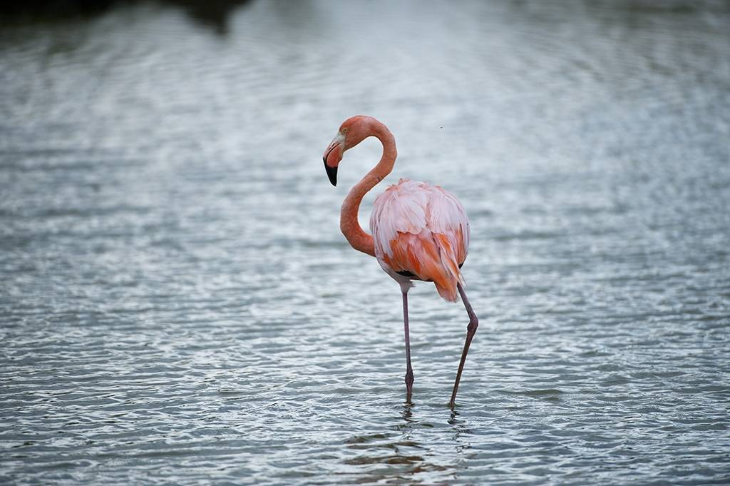 Picture of an American flamingo (Phoenicopterus ruber, in Galapagos National Park.
