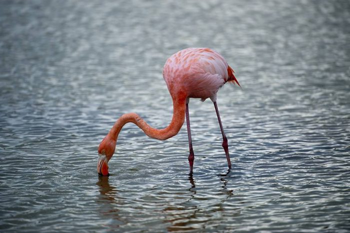 Picture of an American flamingo (Phoenicopterus ruber) in Galapagos National Park.