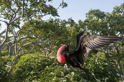 Photo: In Galapagos National Park, a male great frigatebird (Fregata minor) distends his striking red gular sac in hopes of attracting a mate.