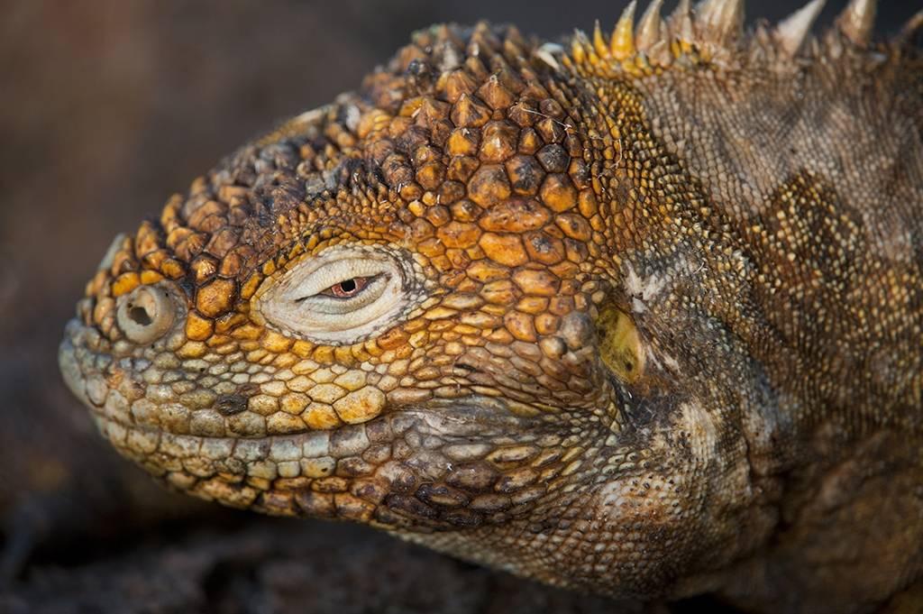 Photo: Close up of a Galapagos Land Iguana (Conolophus subcristatus) on North Seymour Island, part of Galapagos National Park.