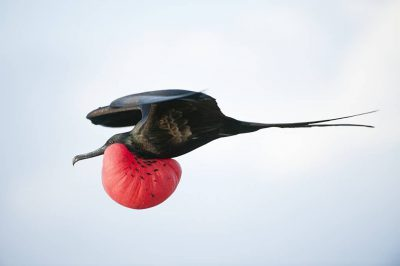 Picture of a Magnificent Frigatebird (Fregata magnificens) on North Seymour, in the Galapagos Islands.