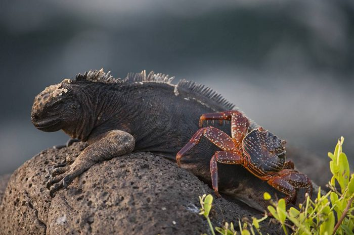 Photo: A marine iguana (Amblyrhynchus cristatus) next to a sally lightfoot crab (Grapsus grapsus) on North Seymour Island, part of the Galapagos chain.
