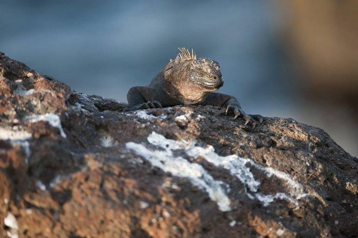 Photo: A marine iguana (Amblyrhynchus cristatus) on North Seymour Island in Galapagos National Park.