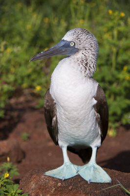 Photo: A blue-footed booby (Sula nebouxii) on North Seymour Island, part of the Galapagos chain.