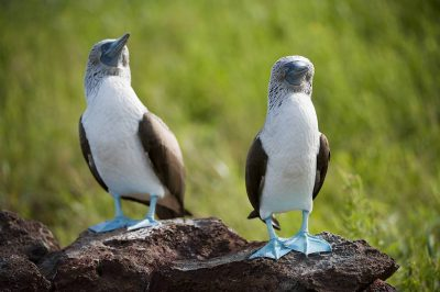 Photo: Blue-footed boobies (Sula nebouxii) on North Seymour Island, part of the Galapagos chain.