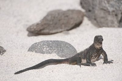 Photo: A marine iguana (Amblyrhynchus cristatus) on North Seymour Island in Galapagos National Park.