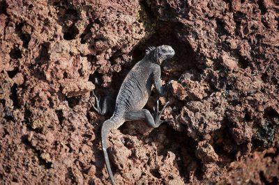 Photo: A marine iguana (Amblyrhynchus cristatus) on Rabida Island in Galapagos National Park.