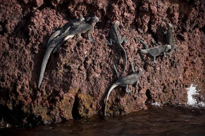 Photo: A lounge of marine iguanas (Amblyrhynchus cristatus) on Rabida Island in Galapagos National Park.
