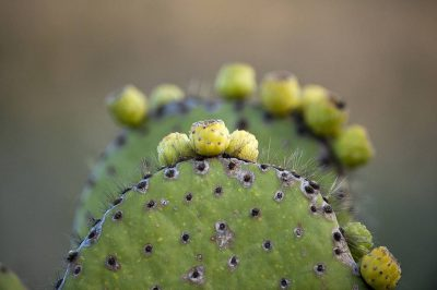 Photo: A form of prickly pear cactus on Rabida in the Galapagos Islands.