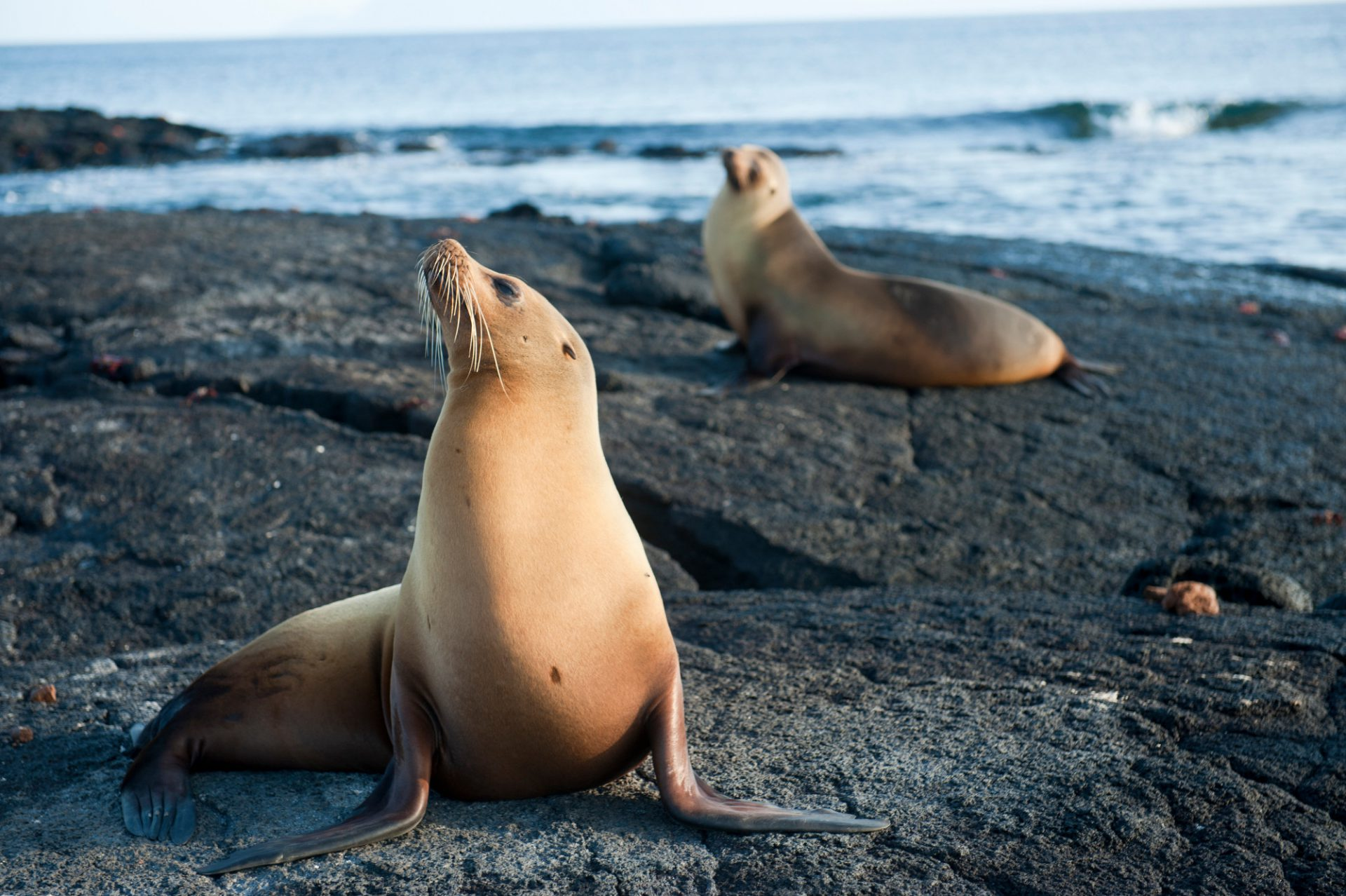 Photo: Endangered Galapagos sea lions (Zalophus wollebaeki) on Fernandina Island in Galapagos National Park.