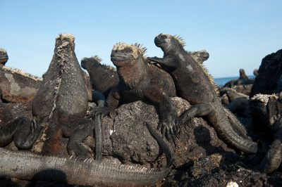 Photo: Marine iguanas (Amblyrhynchus cristatus) on Fernandina Island in Galapagos National Park.