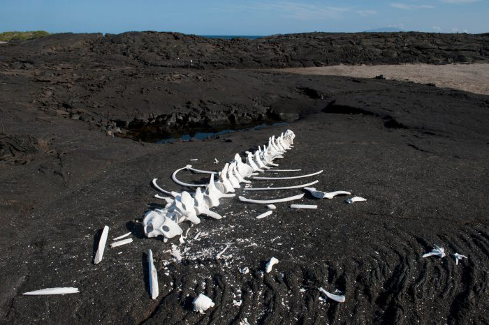 Photo: A whale skeleton on Fernandina Island in Galapagos National Park.