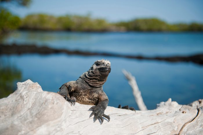 Photo: A marine iguana (Amblyrhynchus cristatus) on Fernandina Island in Galapagos National Park.