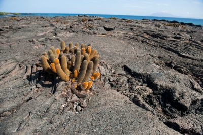 Photo: Lava cacti (Brachycereus nesioticus) on Fernandina Island in Galapagos National Park.