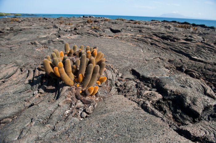 Photo: Lava cacti (Brachycereus nesioticus) on Fernandina Island in Galapagos National Park.