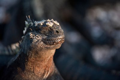 Photo: A marine iguana (Amblyrhynchus cristatus) on Fernandina Island in Galapagos National Park.