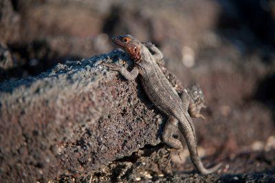Photo: A Galapagos lava lizard (Microlophus albemarlensis) on Fernandina Island in Galapagos National Park.