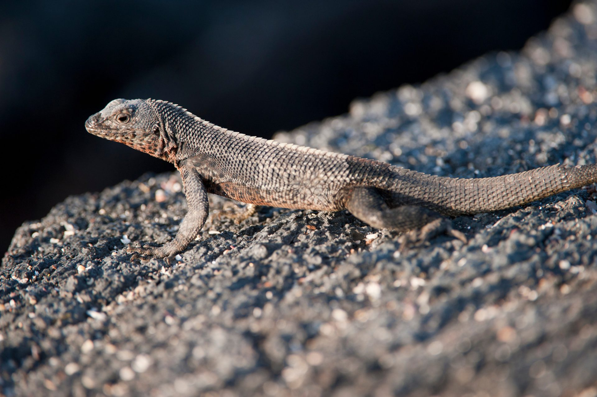 Photo: A Galapagos lava lizard (Microlophus albemarlensis) on Fernandina Island in Galapagos National Park.