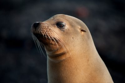Photo: An endangered Galapagos sea lion (Zalophus wollebaeki) on Fernandina Island in Galapagos National Park.