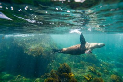 Photo: An endangered Galapagos sea lion (Zalophus wollebaeki) swims along Floreana Island in Galapagos National Park.