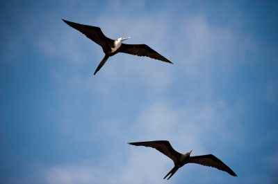 Picture of magnificent frigate birds (Fregata magnificens) near Fernandina Island in Galapagos National Park.