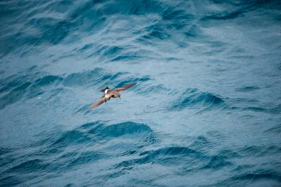 Photo: A bird swims over waves along the coast of Fernandina Island in Galapagos National Park.