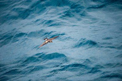 Photo: A bird swims over waves along the coast of Fernandina Island in Galapagos National Park.