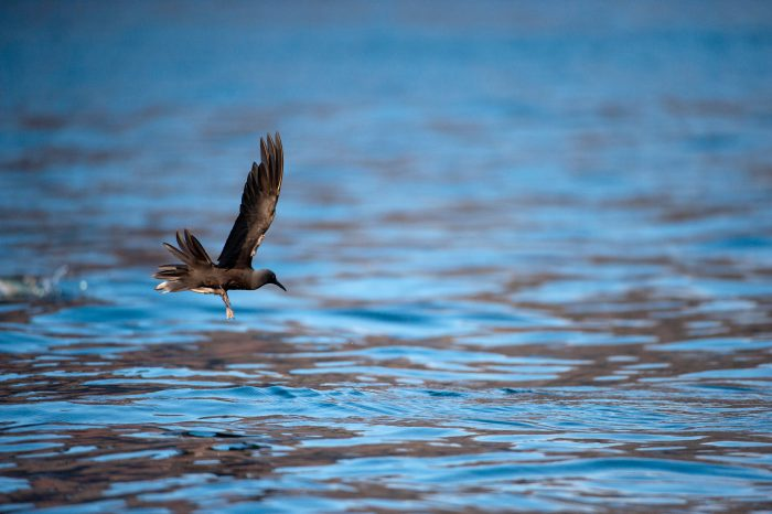 Photo: A brown noddy tern (Anous stolidus) near Isabela Island in Galapagos National Park.