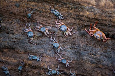 Photo: Sally lightfoot crabs (Grapsus grapsus) on Isabela Island in Galapagos National Park.
