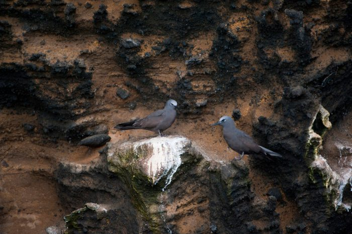 Photo: Brown noddy terns (Anous stolidus) on Isabela Island in Galapagos National Park.