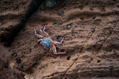Photo: A sally lightfoot crab (Grapsus grapsus) on Isabela Island in Galapagos National Park.