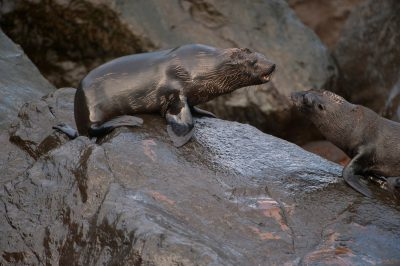 Photo: Endangered Galapagos fur seals (Arctocephalus galapagoensis) on Isabella Island in Galapagos National Park.