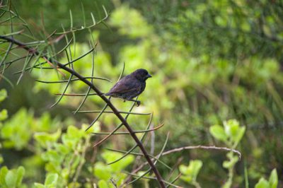 Photo: A male small ground finch (Geospiza fuliginosa) on Urbina Bay, Isabela Island in Galapagos National Park.
