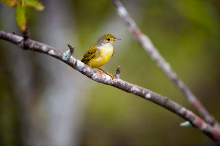 Photo: A juvenile yellow warbler (Dendroica petechia) on Urbina Bay, Isabel Island in Galapagos National Park.