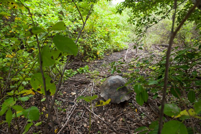 A Galapagos tortoise (Chelonoidis vicina) in the wild on Urbina Bay, Isabela Island in Galapagos National Park.