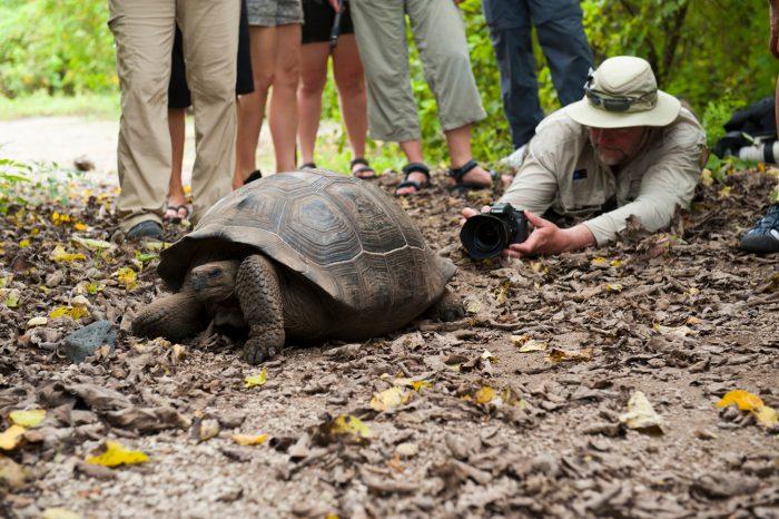 Tourists encounter a Galapagos giant tortoise (Chelonoidis vicina) on Urbina Bay, Isabela Island in Galapagos National Park.
