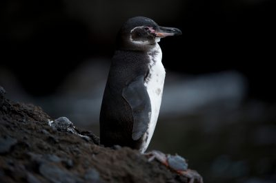 Photo: An endangered Galapagos penguin (Spheniscus mendiculus) at Tagus Cove in Galapagos National Park.