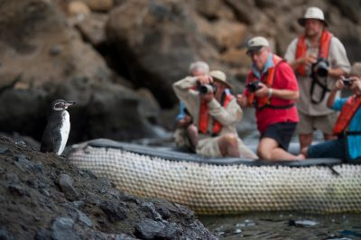 Photo: A group of tourists photograph an endangered Galapagos penguin (Spheniscus mendiculus) at Tagus Cove in Galapagos National Park.
