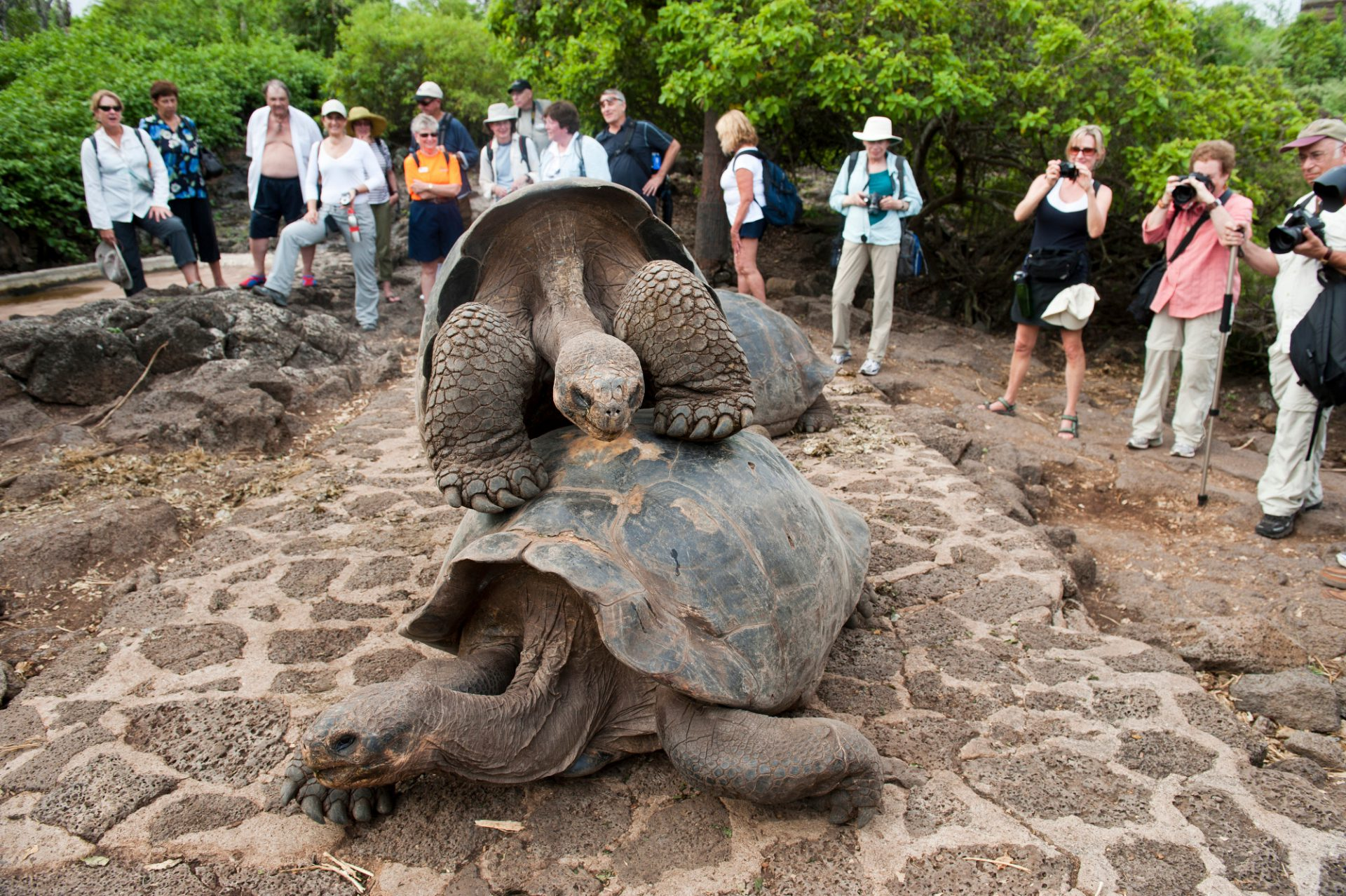 Tourists photograph very old and very rare Galapagos tortoises, Chelonoidis vicina, at the Charles Darwin Research Station in the Galapagos.