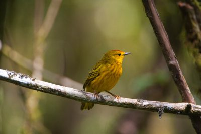 Photo: An adult yellow warbler, Dendroica petechia, on Santa Cruz Island in Galapagos National Park.
