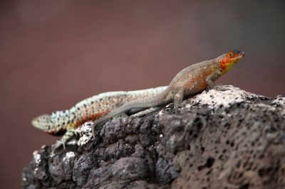 Photo: Male and female Galapaogs lava lizards, Microlophus albemarlensis, on Santa Cruz Island in Galapagos National Park.