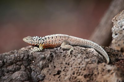Photo: A female Galapaogs lava lizard, Microlophus albemarlensis, on Santa Cruz Island in Galapagos National Park.