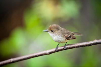 Photo: A Galapagos flycatcher, also known as the Large-billed flycatcher (Myiarchus magnirostris), on Santa Cruz Island in Galapagos National Park.