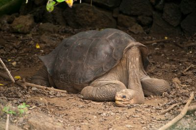 A Galapagos tortoise, Chelonoidis vicina, at the Charles Darwin Research Station in the Galapagos.