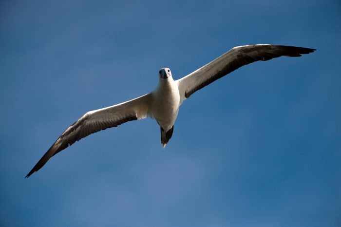Photo: A white morph of the red-footed booby, Sula sula, flies over San Cristobal Island in the Galapagos.